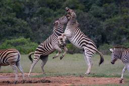 Combat de zèbres. Source : http://data.abuledu.org/URI/58f3ce7f-combat-de-zebres