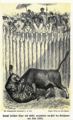 Combat organisé entre un buffle et un tigre à Java en 1886. Source : http://data.abuledu.org/URI/535d42c8-combat-organise-entre-un-buffle-et-un-tigre-a-java-en-1886