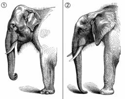 Comparaison anatomique des éléphants d'Asie et d'Afrique. Source : http://data.abuledu.org/URI/52e91a6e-comparaison-anatomique-des-elephants-d-asie-et-d-afrique
