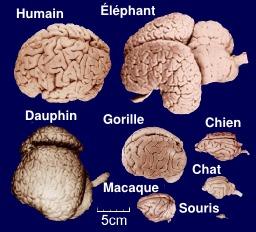 Comparaison du cerveau de huit mammifères. Source : http://data.abuledu.org/URI/51eebfc7-comparaison-du-cerveau-de-huit-mammiferes