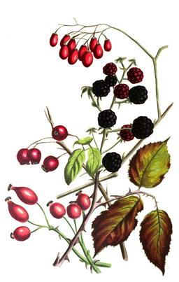Composition de fruits d'automne en 1836. Source : http://data.abuledu.org/URI/53ecf39a-composition-de-fruits-d-automne-sur-pied