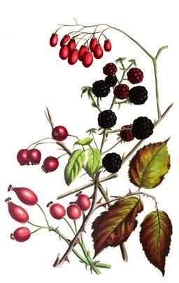 Composition de fruits d'automne en 1836. Source : http://data.abuledu.org/URI/53ecf39a-composition-de-fruits-d-automne-sur-pied