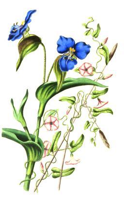 Composition florale avec liserons en 1836. Source : http://data.abuledu.org/URI/53ed413a-composition-florale-avec-liserons-en-1836