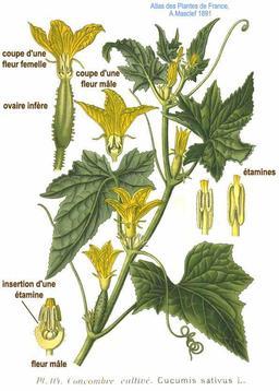 Concombre cultivé. Source : http://data.abuledu.org/URI/504e512f-concombre-cultive