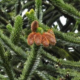 Cônes mâles d'Araucaria du Chili. Source : http://data.abuledu.org/URI/55428284-cones-males-d-araucaria-du-chili
