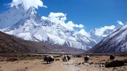 Convoi de yaks dans l'Himalaya. Source : http://data.abuledu.org/URI/586a5e22-convoi-de-yaks-dans-l-himalaya