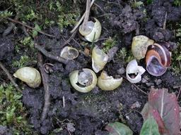 Coquilles d'escargots cassées. Source : http://data.abuledu.org/URI/5342fea0-coquilles-d-escargots-cassees