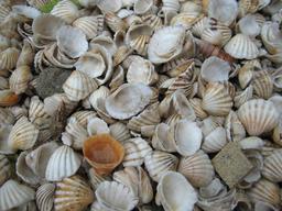 Coquilles de coquillages au Sénégal. Source : http://data.abuledu.org/URI/5148d49b-coquilles-de-coquillages-au-senegal