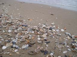 Coquilles de coquillages sur la plage. Source : http://data.abuledu.org/URI/5148d430-coquilles-de-coquillages-sur-la-plage