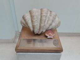Coquilles Saint-Jacques au Muséum de Londres. Source : http://data.abuledu.org/URI/5460f846-coquilles-saint-jacques-au-museum-de-londres