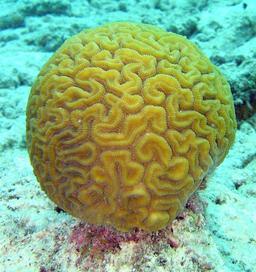Corail. Source : http://data.abuledu.org/URI/50c19e44-corail