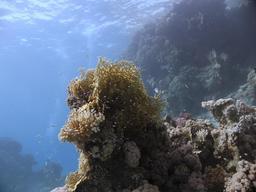 Corail de feu ramifié. Source : http://data.abuledu.org/URI/5554a1fb-corail-de-feu-ramifie