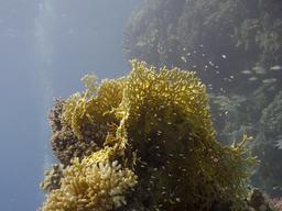 Corail de feu ramifié. Source : http://data.abuledu.org/URI/5554a206-corail-de-feu-ramifie