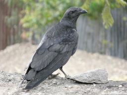 Corbeau à queue courte. Source : http://data.abuledu.org/URI/5277f21d-corbeau-a-queue-courte