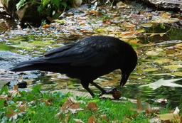 Corbeau essayant de casser une noix 01. Source : http://data.abuledu.org/URI/518ad545-corbeau-essayant-de-casser-une-noix