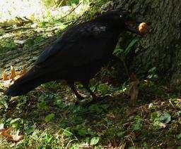 Corbeau essayant de casser une noix 02. Source : http://data.abuledu.org/URI/518ad5c8-corbeau-essayant-de-casser-une-noix