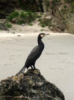Cormoran. Source : http://data.abuledu.org/URI/50ebf526-cormoran