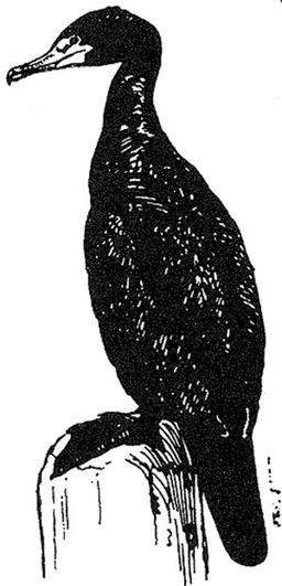 Cormoran. Source : http://data.abuledu.org/URI/53e9d2a7-cormoran