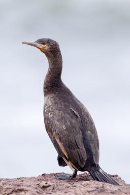 Cormoran du Cap. Source : http://data.abuledu.org/URI/55063d65-cormoran-du-cap