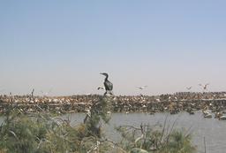 Cormoran et pélicans dans le parc du Djoudj au Sénégal. Source : http://data.abuledu.org/URI/52d56713-cormoran-et-pelicans-dans-le-parc-du-djoudj-au-senegal