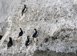 Cormorans de Magellan. Source : http://data.abuledu.org/URI/5501b203-cormorans-de-magellan