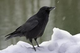 Corneille noire. Source : http://data.abuledu.org/URI/5023ca5d-corneille-noire