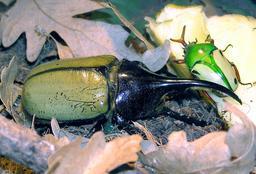 Cornes de coléoptères. Source : http://data.abuledu.org/URI/573cd999-cornes-de-coleopteres