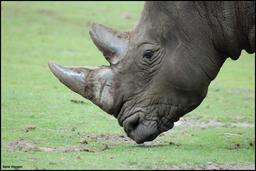 Cornes de rhinocéros. Source : http://data.abuledu.org/URI/573ccfef-cornes-de-rhinoceros