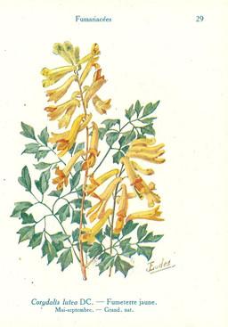 Corydalis ou Fumeterre jaune. Source : http://data.abuledu.org/URI/53ad3b98-corydalis-ou-fumeterre-jaune