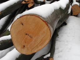 Coupe de tronc de hêtre. Source : http://data.abuledu.org/URI/5064c22a-coupe-de-tronc-de-hetre