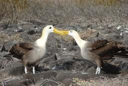 Couple d'albatros. Source : http://data.abuledu.org/URI/54e63751-couple-d-albatros