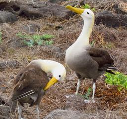 Couple d'albatros aux Galapagos. Source : http://data.abuledu.org/URI/54e63877-couple-d-albatros-aux-galapagos
