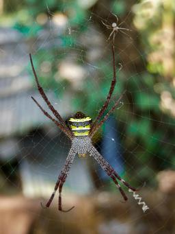 Couple d'araignées. Source : http://data.abuledu.org/URI/54fe978d-couple-d-araignees