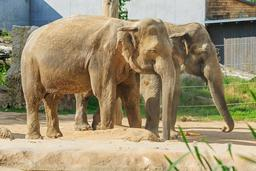 Couple d'éléphants au zoo de Prague. Source : http://data.abuledu.org/URI/58d02639-couple-d-elephants-au-zoo-de-prague