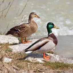 Couple de canards. Source : http://data.abuledu.org/URI/5329cd20-couple-de-canards