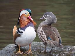 Couple de canards mandarins. Source : http://data.abuledu.org/URI/565cf789-couple-de-canards-mandarins