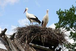Couple de cigognes. Source : http://data.abuledu.org/URI/52b9af4d-couple-de-cigognes