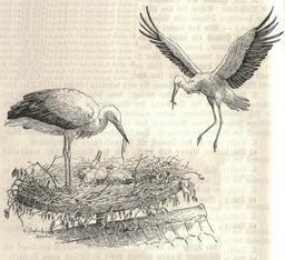Couple de cigognes au nid. Source : http://data.abuledu.org/URI/51fd19fa-couple-de-cigognes-au-nid
