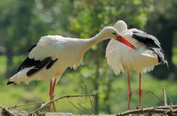 Couple de cigognes blanches. Source : http://data.abuledu.org/URI/565d4fdf-couple-de-cigognes-blanches