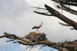 Couple de cigognes blanches au nid. Source : http://data.abuledu.org/URI/530348a3-couple-de-cigognes-blanches-au-nid