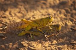 Couple de criquets pélerins dans le désert. Source : http://data.abuledu.org/URI/531b26bc-couple-de-criquets-pelerins-dans-le-desert
