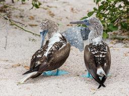 Couple de fous à pieds bleus. Source : http://data.abuledu.org/URI/572ba8a8-couple-de-fous-a-pieds-bleus