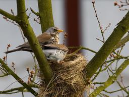 Couple de grives au nid. Source : http://data.abuledu.org/URI/51729b66-couple-de-grives-au-nid