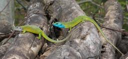 Couple de lézards. Source : http://data.abuledu.org/URI/5652ca72-couple-de-lezards