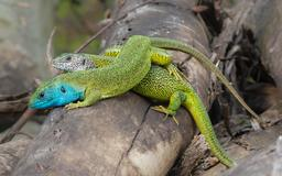 Couple de lézards verts. Source : http://data.abuledu.org/URI/54dbbb5c-couple-de-lezards-verts