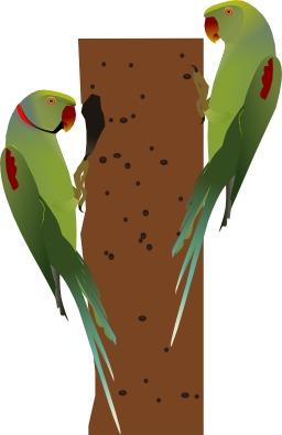 Couple de perruches alexandre. Source : http://data.abuledu.org/URI/529b56b3-couple-de-perruches-alexandre