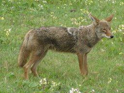 Coyote. Source : http://data.abuledu.org/URI/504f3731-coyote