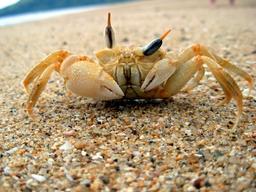 Crabe fantôme à Madagascar. Source : http://data.abuledu.org/URI/517e99a5-crabe-fantome-a-madagascar