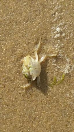 Crabe mort sur la plage. Source : http://data.abuledu.org/URI/56db2d09-crabe-mort-sur-la-plage