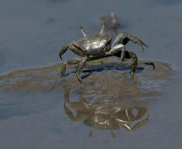 Crabe violoniste et son reflet dans l'eau. Source : http://data.abuledu.org/URI/52e50bd8-crabe-violoniste-et-son-reflet-dans-l-eau